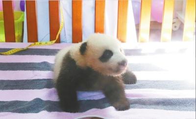 """上海野生动物园里,熊猫宝宝""""花生""""刚过双满月"""